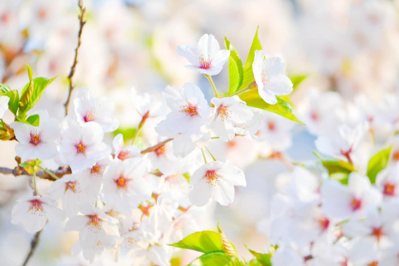 printemps chinois
